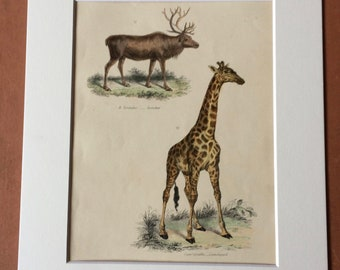 1862 Reindeer and Giraffe Original Antique Hand Coloured Engraving - Available Mounted, Matted and Framed - Wildlife