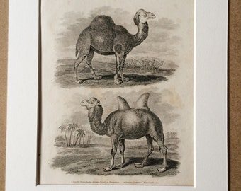 1819 Original Antique Engraving - Arabian Camel or Dromedary and Bactrian Camel - Wildlife - Natural History - Available Matted and Framed