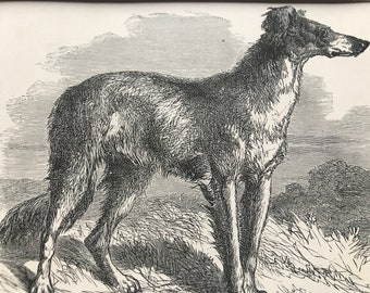 Greyhound racing Antique original vintage mounted Victorian black white etching engraving print /' The Decided Course /'  dog by Beckwith