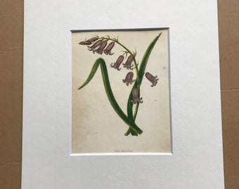 1852 Original Antique Hand-Coloured Anne Pratt Botanical Illustration - Wild Hyacinth - Botany - Garden - Available Framed