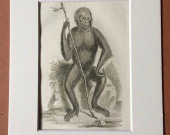 1800 Chestnut Orang-utan Original Antique Engraving - Zoology - Natural History - Primate - Available Framed