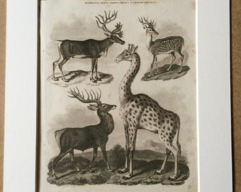 1819 Original Antique Engraving - Reindeer, Red Deer Stag, Axis Deer and Giraffe Cameleopard - Wildlife Decor - Available Matted and Framed