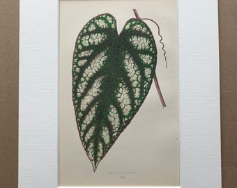 1872 Original Antique Hand Coloured Botanical Illustration - Botany - Beautiful Leaved Plant - Cissus Discolor - Available Matted & Framed