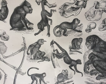 1900 Apes and Monkeys Original Antique Print - 10 x 12 inches - Wall Decor - Zoology - Wildlife - Primate