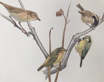 1937 Warblers and Tits Original Vintage Print - Bird Art - Ornithology - Mounted and Matted - Available Framed