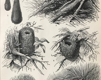 1897 Birds Nests Original Antique Print - Mounted and Matted - Ornithology - Wildlife - Country Decor - Available Framed