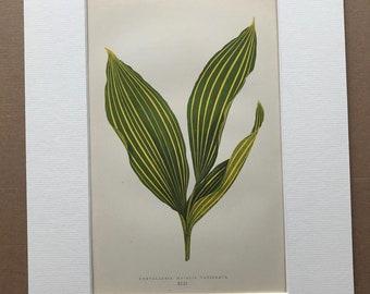 1872 Original Antique Hand Coloured Botanical Illustration - Botany - Beautiful Leaved Plant - Convallaria - Available Matted & Framed