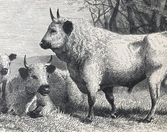 1893 Wild Cattle of Cadzow Park Original Antique Print - Wildlife - Natural History - Animal Art - Mounted and Matted - Available Framed