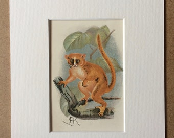 1896 Smith's Dwarf Lemur Original Antique Chromolithograph - Wildlife - Natural History - Mounted and Matted - Available Framed