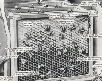 1940s Bees at work on Honeycomb in a Hive Original Vintage Print - Mounted and Matted - Honey Bee - Beekeeper - Apiary - Available Framed