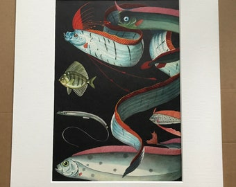 1968 Original Vintage Print - Mounted and Matted - Giant Oarfish, North Pacific Crestfish, Ribbonfish, Sailfin Velifer - Available Framed