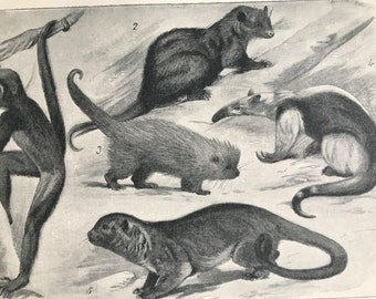 1903 South American Mammals with Prehensile Tails Original Antique Print - Natural History - Mounted and Matted - Available Framed