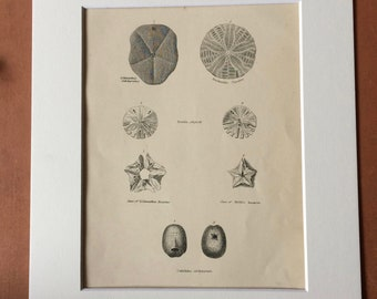 1862 Echinodermata Original Antique Engraving - Available Mounted, Matted and Framed - Marine Species - Zoology - Sea Urchin