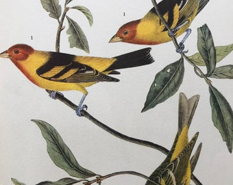 1937 Western Tanager Original Vintage Audubon Print - Mounted and Matted - Available Framed - Bird Art - Ornithology