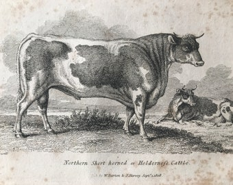 1809 Northern Short-Horned or Holderness Cattle Original Antique Engraving - Natural History - Cow - Cattle - Available Matted and Framed