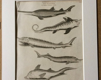 1819 Sawfish, Sea Monster, Sturgeon, Sterlet Original Antique Engraving - Mounted and Matted - Ichthyology - Fish - Marine Species - Framed