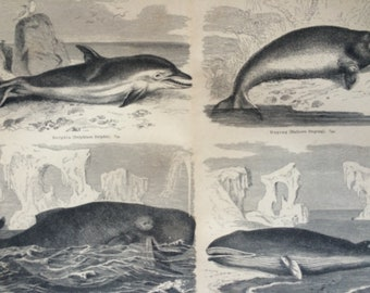 1878 Aquatic Mammals Large Original Antique print - Available Mounted and Matted - Dolphin, Whale, Dugong - Marine Decor - Victorian Decor