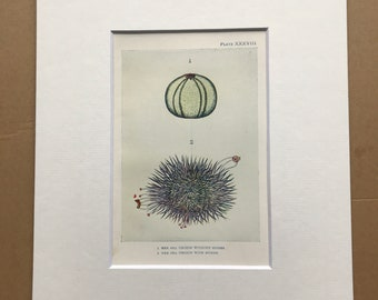 1920 Sea Urchin with and without Spines Original Antique Print - Mounted and Matted - Available Framed - Marine Decor - Ocean Decor