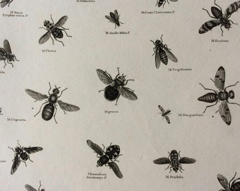 1819 Fly Varieties Original Antique Engraving - Available Mounted and Matted - Diptera Musca - Insect - Entomology - Available Framed