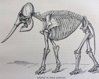 1892 Skeleton of Indian Elephant Original Antique Engraving - Wildlife - Wall Decor - Available Framed - 8 x 10 inches - Osteology