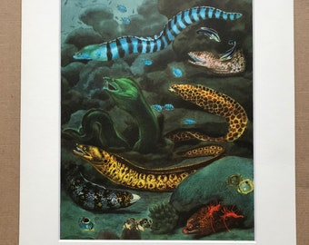 1968 Original Vintage Print - Mounted and Matted - Honeycomb Moray, Snowflake Moray, Mediterranean Moray - Fish - Available Framed