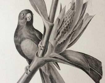 1960 Large Original Vintage Bird Print, 11.5 x 17 inches, Perroquet a Ventre Bleu Parakeet, Vintage Decor, Ornithology, Tropical Wall Art