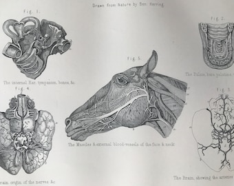 1880 Equine Anatomy - The Head, Ear, Brain, nerves, Muscles, blood vessels Original Antique Print - Mounted and Matted - Available Framed