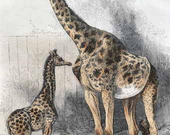 c.1860 The Giraffe and its young Original Antique Hand-Coloured Engraving - Wildlife - Animal Art - Mounted and Matted - Available Framed