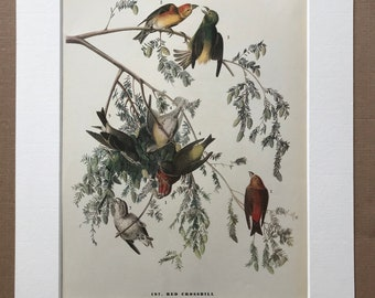 1937 Red Crossbill Original Vintage Audubon Print - Mounted and Matted - Available Framed - Bird Art - Ornithology