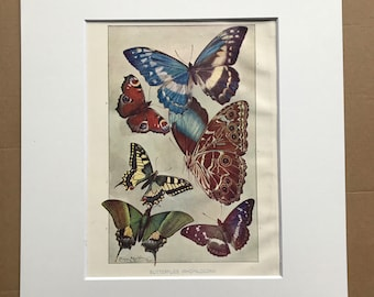 1903 Butterflies Original Antique Print - Lepidoptera - Butterfly - Natural History - Wildlife Decor - Mounted and Matted - Available Framed