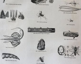 1856 Large Original Antique Insect Engraving - Saw-Fly, Ichneumon, Bee ting, Caterpillar, Tree-Hopper - Entomology - Wall Decor