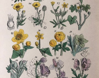 1914 Original Antique Hand-Coloured Engraving - British Wild Flowers - Mounted and Matted - Buttercup - Marigold - Botany - Available Framed