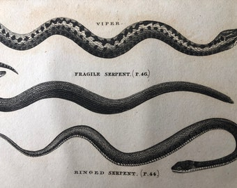 1812 Viper, Fragile Serpent and Ringed Serpent Original Antique Engraving - Reptile - Snake - Cabin Decor - Available Framed