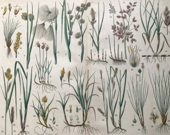 1880 Large Original Antique Botanical Lithograph - Botanical Print - Botany - Plants - Botanical Art - Wall Decor - Grass - Sedge - Reed