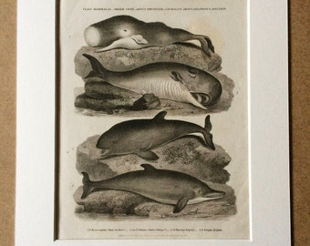 1819 Dolphin, Porpoise, Whale Original Antique Engraving - Mounted and Matted - Marine Decor - Decorative Art - Mammal - Cetacea - Framed