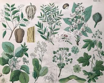 1880 Large Original Antique Botanical Lithograph - Botanical Print - Botany - Plants - Botanical Art - Wall Decor - Chestnut - Mastic
