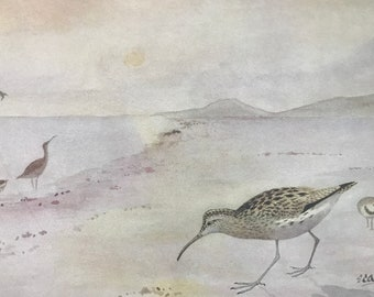 1924 Curlew and Whimbrel Original Antique Print - Mounted and Matted - Ornithology - British Waders - Vintage Bird Art - Available Framed