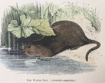 1907 The Water Rat Original Antique Matted Hand-Coloured Engraving - Natural History - Wildlife - Decorative Art