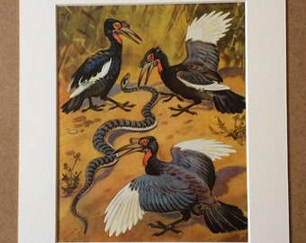 1968 Original Vintage Bird Print - Mounted and Matted - Abyssinian Ground Hornbill Bird - Ornithology - Available Framed