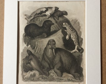 1819 Seals and Walrus Original Antique Engraving - Mounted and Matted - Arctic Walrus, Manatus, Ursine, Harp Seal - Wildlife Decor - Framed