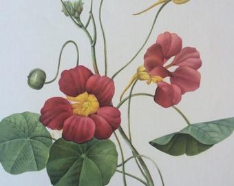 1955 Original Vintage Redoute Flower Illustration - Botanical Decor - Nasturtium - Botany - Available Mounted and Matted