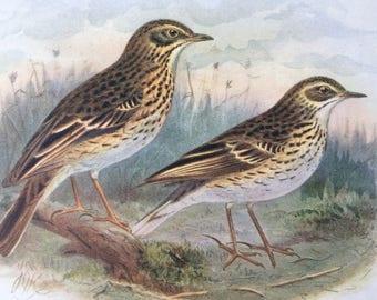 1907 Tree Pipit & Meadow Pipit Original Antique Lithograph - Ornithology - Bird Art - Birds -  Wall Decor - Home Decor - Wall Art - Wildlife