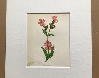 1852 Original Antique Hand-Coloured Anne Pratt Botanical Illustration - Red Campion - Flower - Botany - Garden - Available Framed
