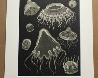 1968 Original Vintage Print - Mounted and Matted - Hydrozoa - Jellyfish - Marine Species - Ocean Wildlife  - Available Framed