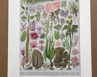 1928 Seaweed Original Antique Print - Algae - Botanical Art - Marine Botany - Mounted and Matted - Available Framed