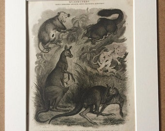 1819 Opossum and Kangaroo Original Antique Engraving - Available Mounted and Matted - Wildlife Decor - Marsupial - Framed