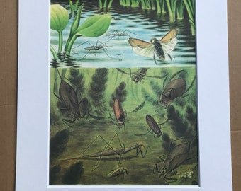 1984 Water Bugs Original Vintage Print - Insect Art - Mounted and Matted - Available Framed