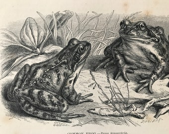 1863 Common Frog Original Antique Print - Amphibian - Natural History - Mounted and Matted - Available Framed