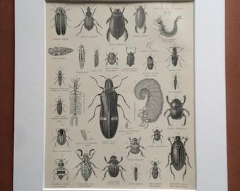 1875 Coleoptera Original Antique Matted Engraving - Beetle - Sacred Beetle - Insect - Larvae - Entomology - Matted & Available Framed
