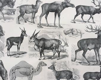 1904 Ungulata or Hoofed Animals - Elk, Camel, Stag  Original Antique Print - 10 x 12 inches - Wall Decor - Victorian Art